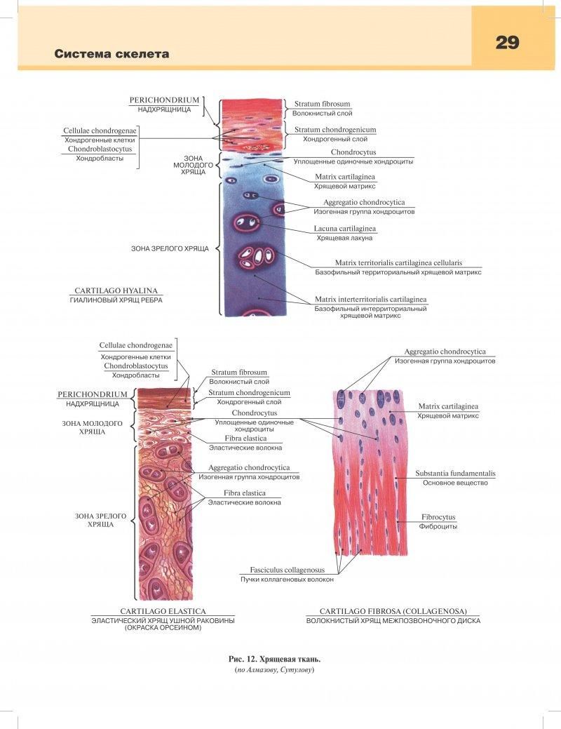 Синдесмология