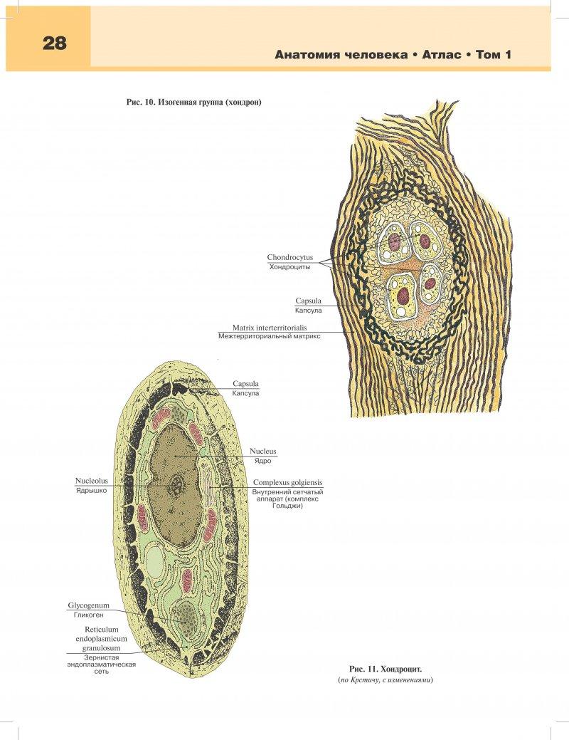 Остеология фото