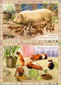 Домашние животные. Морские свинки. Свинья с поросятами. Плакат